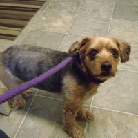 Neutered Male Yorkie 1264