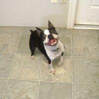 Neutered Male Boston Terrier 1654